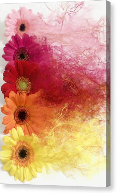 Smoke Splattered Gerbera Daisies Canvas Print