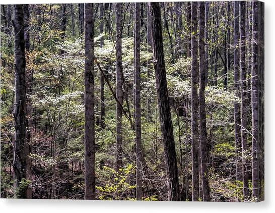 Smoky Dogwood 08 Canvas Print