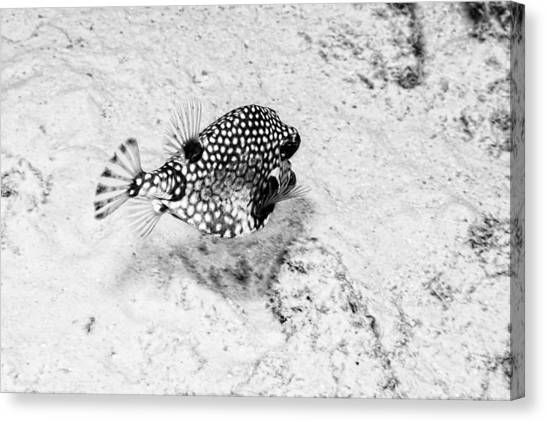 Canvas Print featuring the photograph Smooth Trunkfish by Perla Copernik