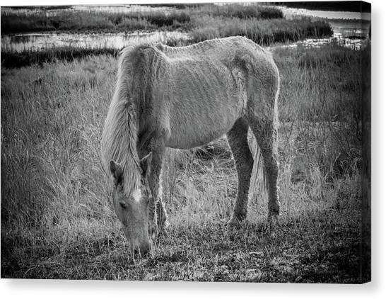 Maryland Horses Canvas Print - Snacking by Kristopher Schoenleber