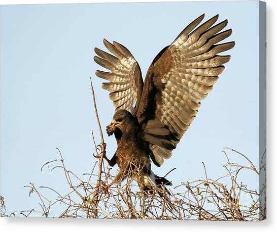 Snail Kite Coming In Canvas Print