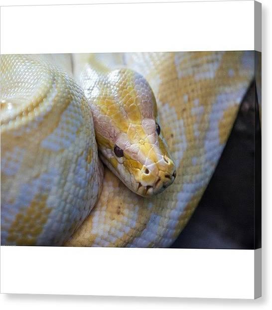 Pythons Canvas Print - #snake #zoo #dierentuin #slang #python by Stefan Van der wijst