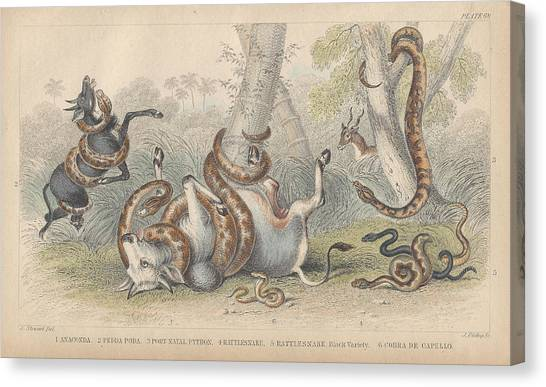 Boa Constrictor Canvas Print - Snakes by Dreyer Wildlife Print Collections