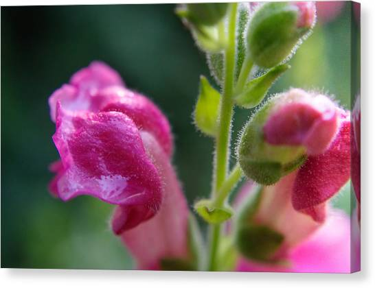 Snapdragon Hairs Canvas Print