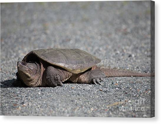 Snapping Turtles Canvas Print - Snapping Turtle Female by Edward Fielding