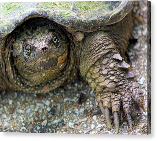 Snapping Turtles Canvas Print - Snapping Turtle by Kristin Elmquist