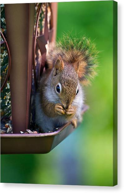 Sneaky Red Squirrel Canvas Print by Edward Myers