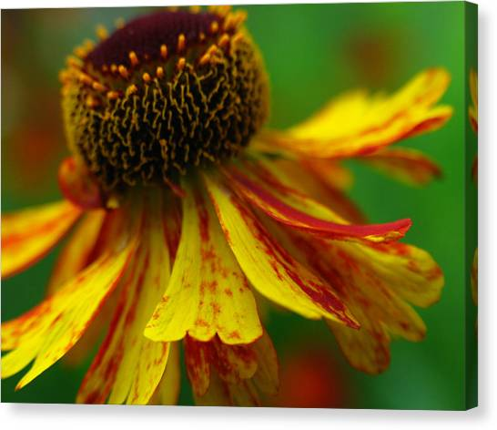 Sneezeweed Canvas Print by Juergen Roth