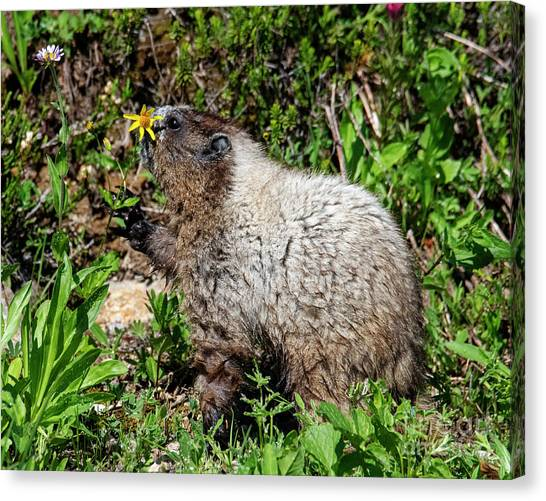Groundhogs Canvas Print - Sniffing The Flowers by Mike Dawson