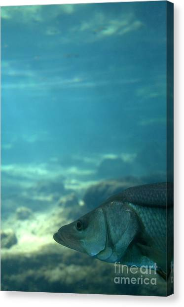 Snook Face Canvas Print