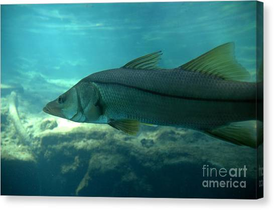 Snook Canvas Print