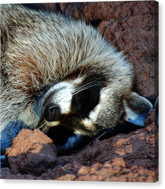 Raccoons Canvas Print - Snooze Time. Tbt #animal #animals by Kerri Ann Crau