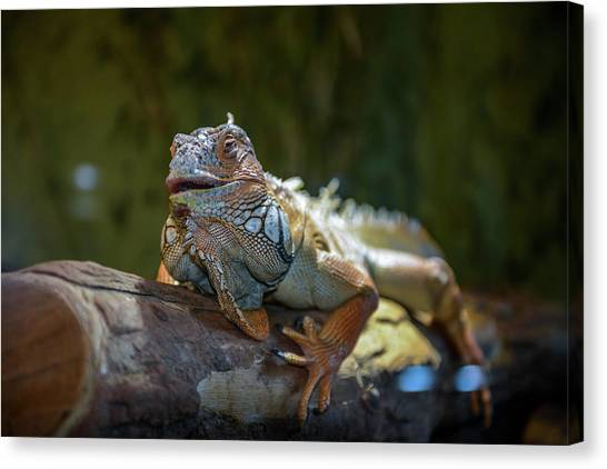 Snoozing Iguana Canvas Print