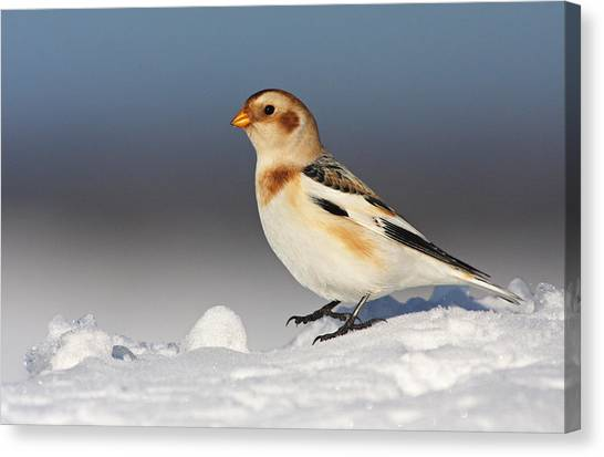 Canadian Canvas Print - Snow Bunting (plectrophenax Nivalis) by Mircea Costina