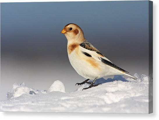 Canada Canvas Print - Snow Bunting (plectrophenax Nivalis) by Mircea Costina