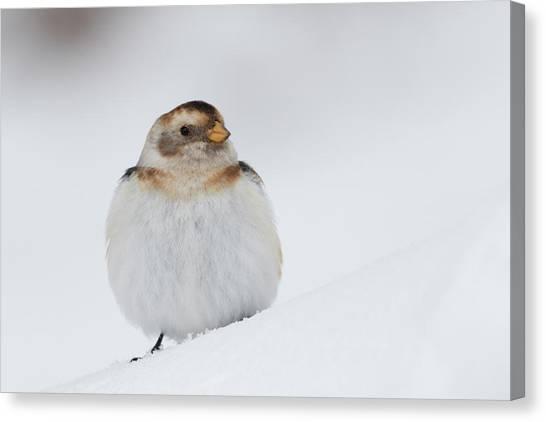 Canvas Print featuring the photograph Snow Bunting - Scottish Highlands by Karen Van Der Zijden