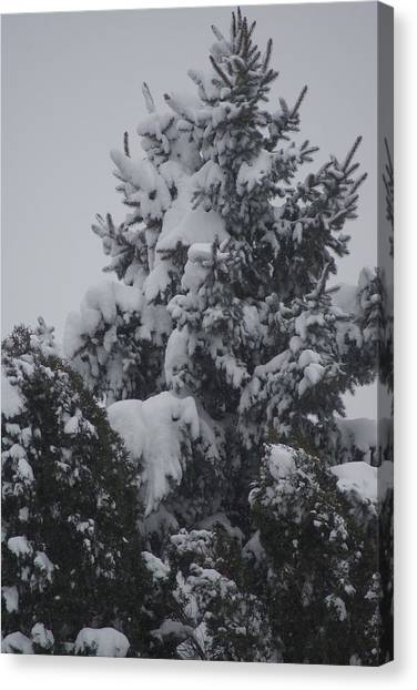 Snow Covered Pine Canvas Print by Heather Green