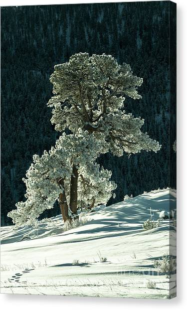 Snow Covered Tree - 9182 Canvas Print