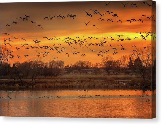 Eagle Scout Canvas Print - Snow Geese At Sunset by Susan Rissi Tregoning