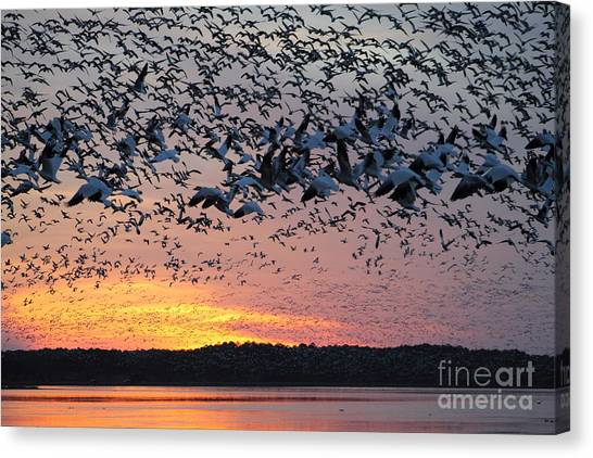 Snow Geese At Sunset Canvas Print