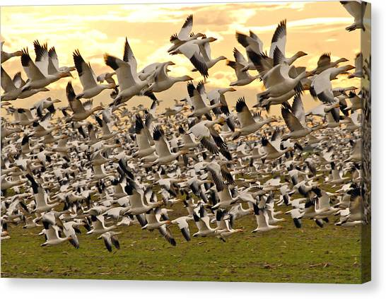 Snow Geese In Flight Canvas Print