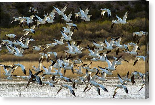 Snow Geese Flock In Flight Canvas Print