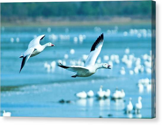 Snow Geese Canvas Print by Jerry Weinstein
