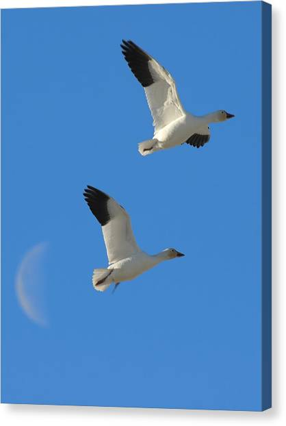 Snow Geese Moon Canvas Print