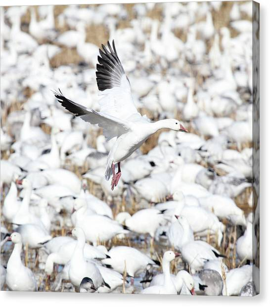 Snow Goose Lift-off Canvas Print