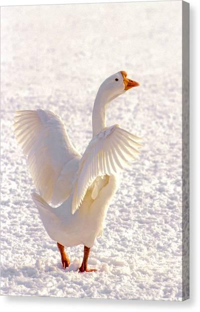 Snow Goose Canvas Print