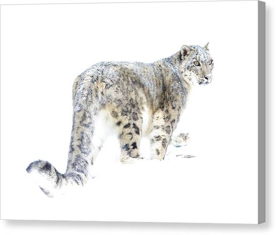 Canvas Print - Snow Leopard On White by Steve McKinzie