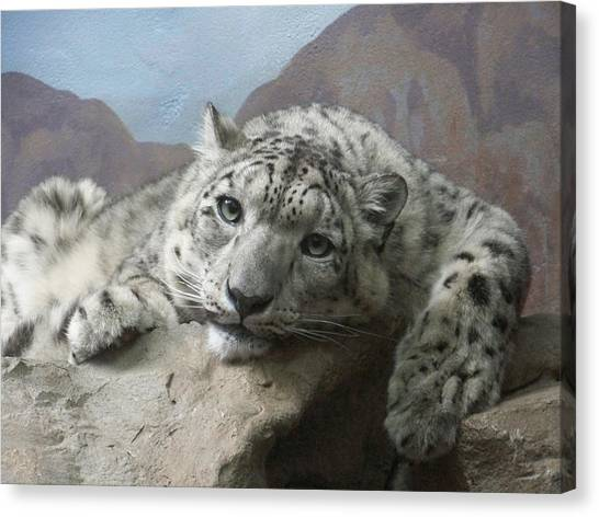 Snow Leopard Relaxing Canvas Print
