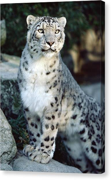 Canvas Print featuring the photograph Snow Leopard Uncia Uncia Portrait by Gerry Ellis