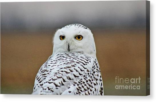 Snow Owl Strare Canvas Print