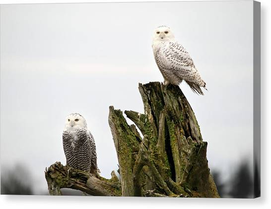 Snow Owls Of Boundary Bay Canvas Print by Pierre Leclerc Photography