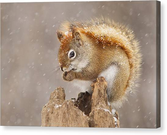 Squirrels Canvas Print - Snow Storm by Mircea Costina