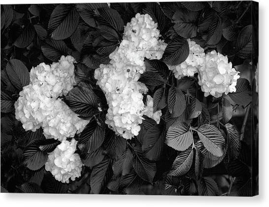 Popcorn Canvas Print - Snowball Bush by Tom Mc Nemar