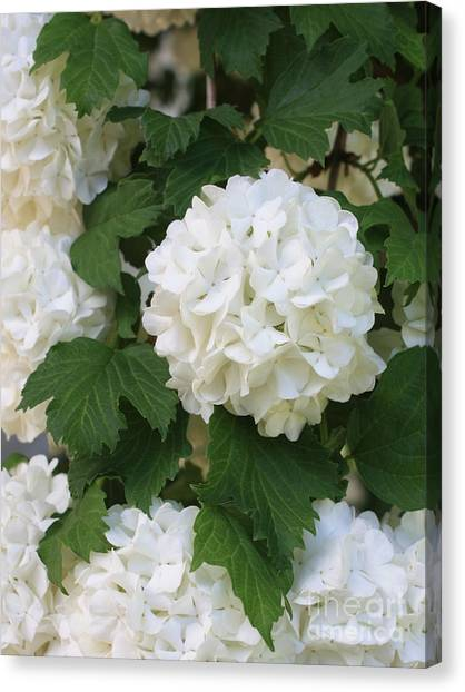 Snowball bush canvas prints fine art america snowball bush canvas print snowball tree with delicate leaves by carol groenen mightylinksfo