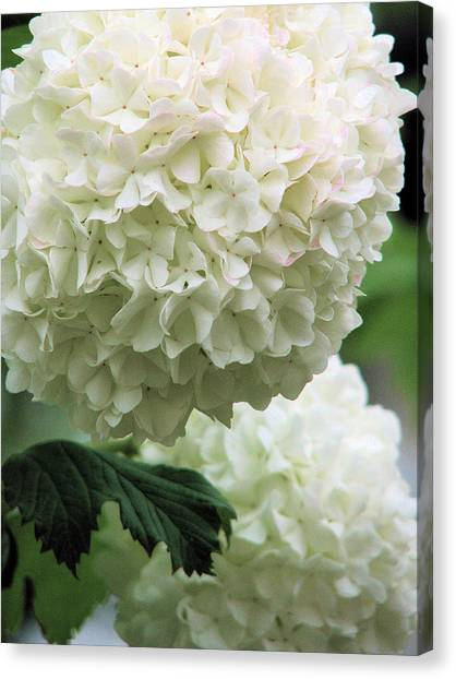 Snowball White Canvas Print