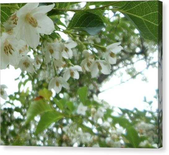 Snowbell Sparkles In Spring Canvas Print