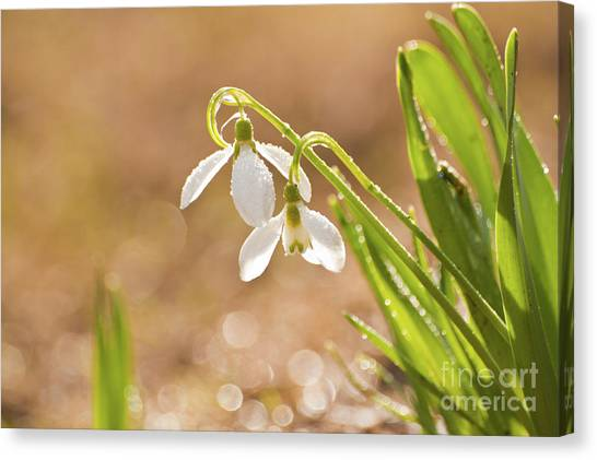 Snowbell With Dew Drops Canvas Print