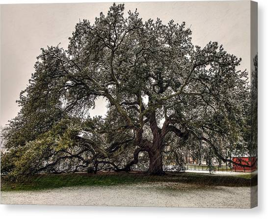 Snowfall On Emancipation Oak Tree Canvas Print
