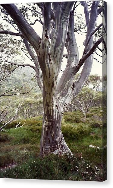 Snowgum Like Whirling Dervish Canvas Print by Adrianne Wood