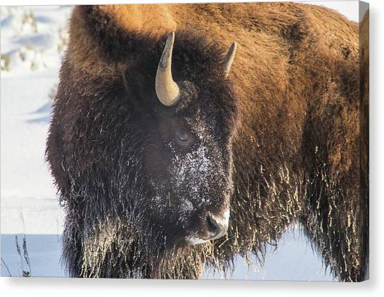 Snowy Bison Canvas Print