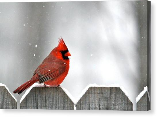 Snowy Cardinal Canvas Print by Debbie Sikes