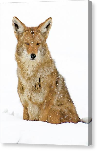 Snowy Coyote Canvas Print