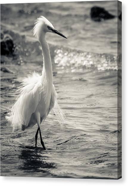 Snowy Egret At Lake Chapala Canvas Print by Dane Strom