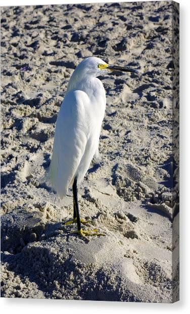 Snowy Egret At Naples, Fl Beach Canvas Print