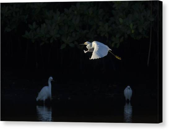 Snowy Egret Gliding In The Morning Light Canvas Print