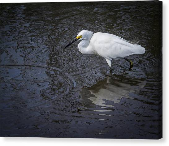 Snowy Egret Hunting Canvas Print